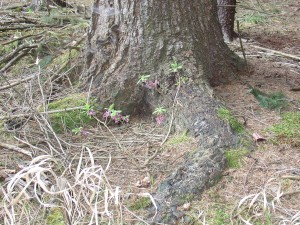 L. Bělohrad farní lesy 2014